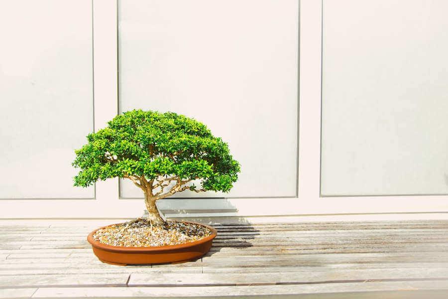 bonsai boom